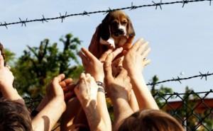 beagle greenhill