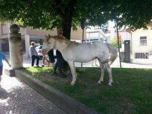 cavallo dervio