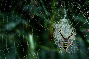 il ragno