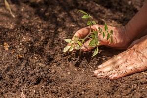 coltivare-pomodoro