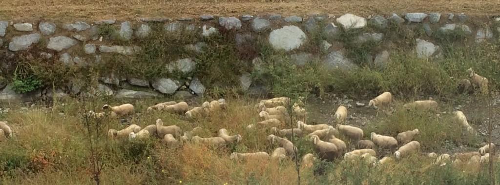 pecore fiume