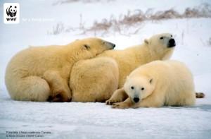 wwf orso polare