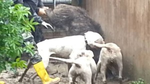 combattimento cani pesaro forestale 2