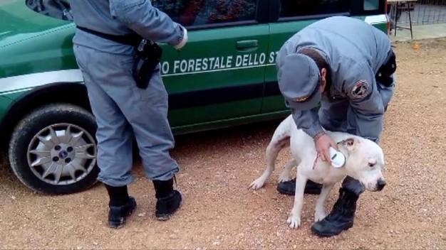 combattimento cani pesaro forestale 3