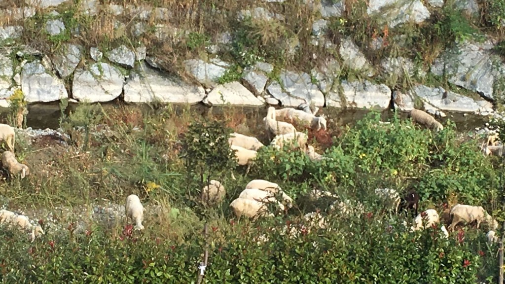 pecore-fiume-3