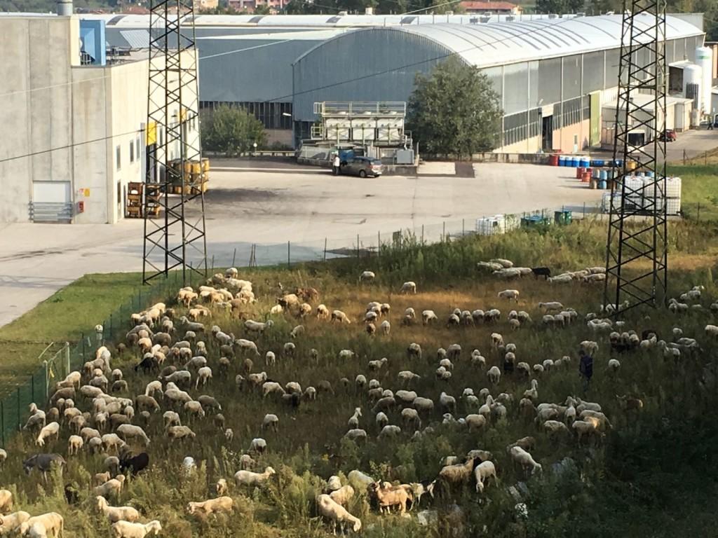 pecore-prato