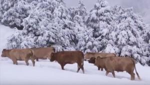 mucche-neve-2