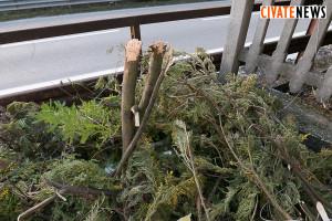 mimosa distrutta 2