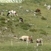 alpeggio vacche 2