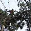 processionaria - alberi - climber
