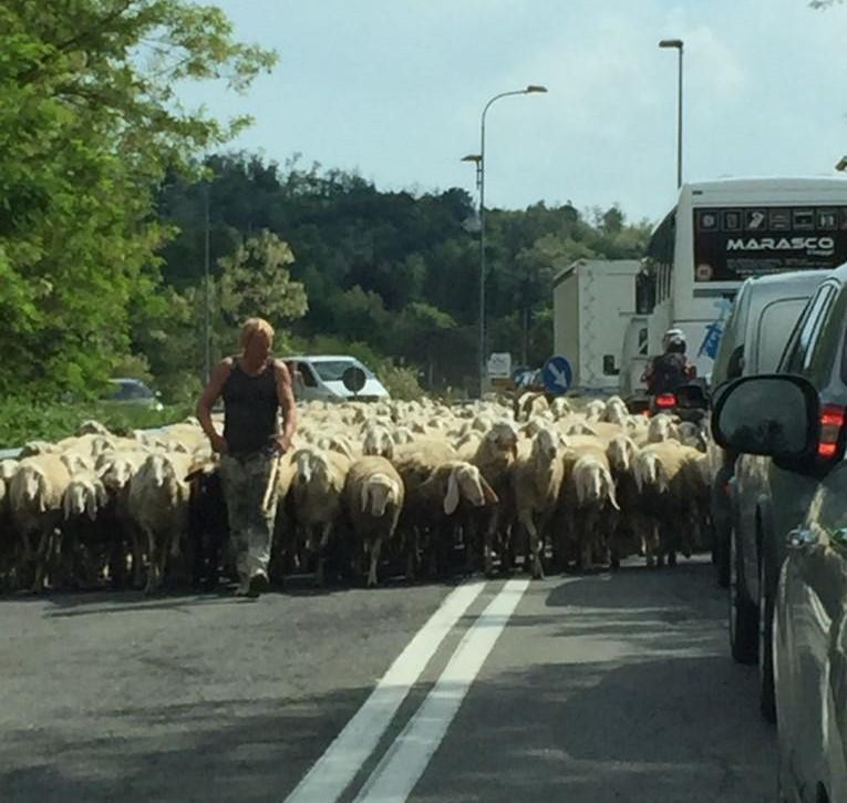 pecore oggiono sala al barro (1)