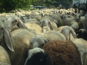 pecore oggiono sala al barro (2)